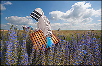 BNPS.co.uk (01202) 558833<br /> Picture: PhilYeomans/BNPS<br /> <br /> Vipers Bugloss.<br /> <br /> Long hot summer a boost for the bee man of Salisbury Plain.<br /> <br /> One of Britains last wilderness area's is a hive of activity this summer as an army of busy bees swarm across Salisbury plain in Wiltshire.<br /> <br /> Major Chris Wilkes commands an astonishing 8 million bees in 150 hives dotted across the unique enviroment of the plain. The chalkland host's an amazingly wide range of rare wildflowers as 60,000 acres of SSSI have never been treated with modern pesticides.<br /> <br /> The wet winter and dry spring have produced perfect conditions for the diverse flora of the grasslands, with the isolation of the plain creating a cornucopia of the top nectar flowers in the UK  producing a honey with the distinctive flavour of one of Britains last wilderness areas.