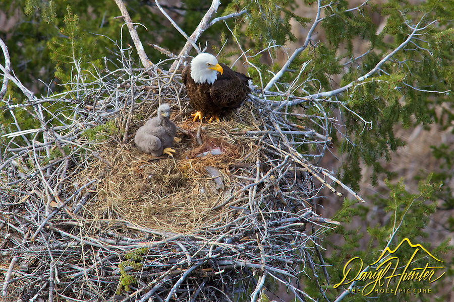 Bald Eagle, Eaglet, in Nest, high above the Snake River in Idaho