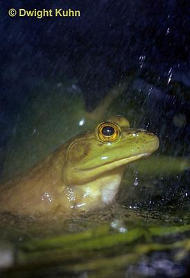 FR06-001z  Bullfrog - adult in pond, falling rain - Lithobates catesbeiana, formerly Rana catesbeiana