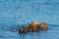 Southern Sea Otter (Enhydra lutris nereis) mother and young pup wrapped in kelp while resting.  Central California Coast.   Wrapping up in the kelp keeps them from drifting off with the wind, tide or current.