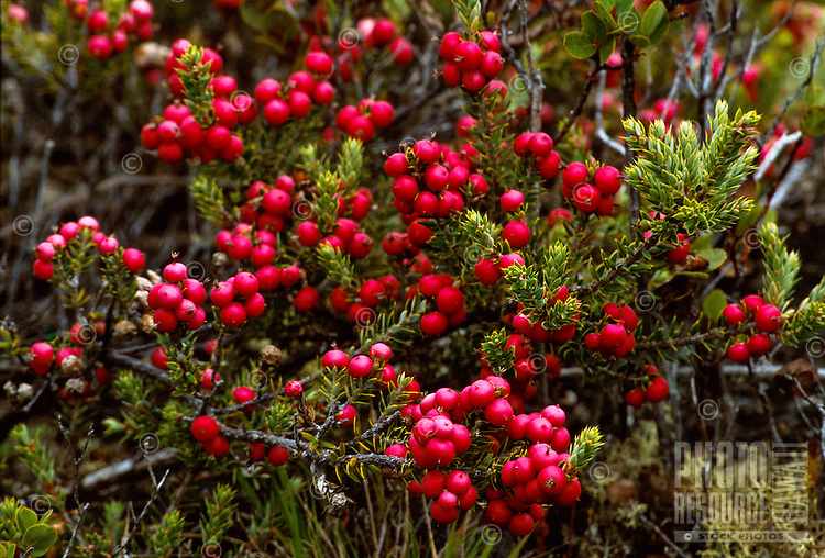 Pukeawe, Styphelia tameiameiae. A native shrub found in native forests and shrublands.  The berries vary from red, pink to white and are fed on by native birds.