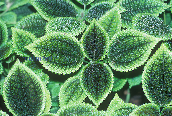 Variegated leaves of Coleus.