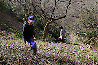 Mountain vegetable farmers Yoshiya and Chie Sato foraging on a hillside near their home. Tsuruoka, Yamagata Prefecture, Japan, April 9, 2016. The city of Tsuruoka in Yamagata Prefecture is famous for its sansai mountain vegetable cuisine. These foraged grasses, fungi and vegetables are also used by the mountain ascetics of the Shugendo religion.