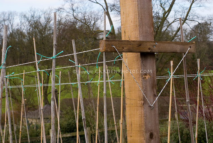 Sweet pea canes poles trellis and watering, how to stake peas in the garden, Lathyrus or vegetable peas, practical tip on tying up and staking vines