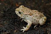 A young European Green Toad (Bufo viridis), Europe.