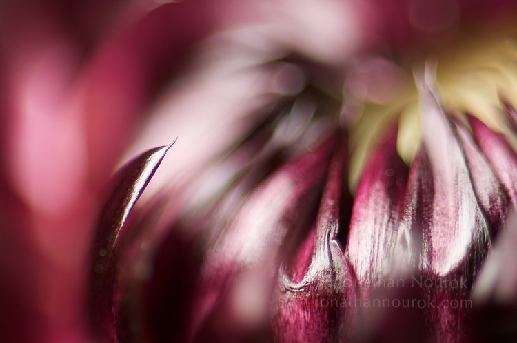close-up of a maroon / pink strawflower