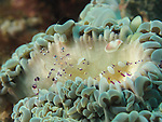 Kenting, Taiwan -- Anemone shrimp (Periclimenes venustus)