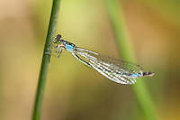 337850020 a wild female painted damsel damselfly heteragrion heterodoxum  perches on a water plant on the membis river near royal john mine road grant county new mexico united states..GPS:N 32.73066.         W -107.86653