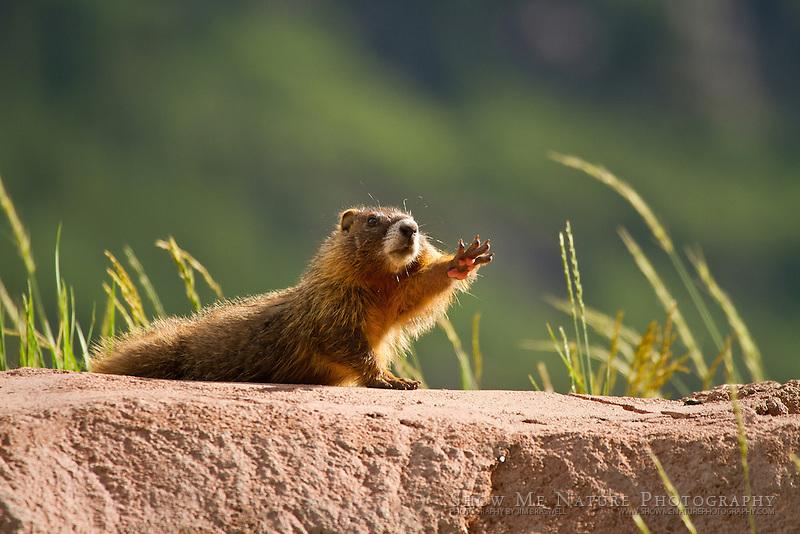 marmot stretching