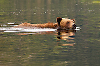 Grizzly Bear swimming across some water