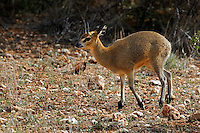 Klipspringer, Samburu National Game Reserve, Kenya