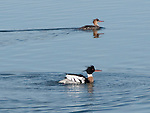Red-breasted Merganser Pair on Lake Nokomis in Early Spring