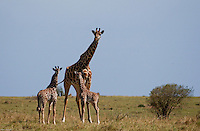 A mare giraffe, with a rare set of twin babys, takes a little brake as they graze in the plains of the Maasai Mara National park in Kenya. (PHOTO: MIGUEL JUAREZ LUGO).