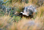 Hog-nosed skunk, Chile