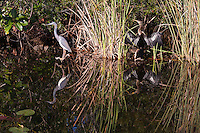 A Tricolored Heron (Egretta tricolor) and Anhinga (Anhinga anhinga) on the side of a canal in the Shark Valley section of Everglades National Park, Florida.