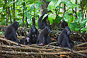 Group of crested black macaques (Macaca nigra), Indonesia, Sulawesi; Endangered species, threatened through loss of habitat and bush meat trade, species only occurs on Sulawesi.