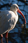 American white ibis, Everglades National Park, Florida