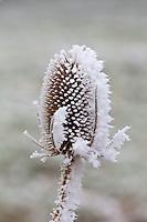 Winter scene hoar frost on teasel seed head in The Cotswolds, UK
