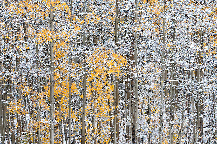 An autumn snowfall dusts the aspens and pines near Gore Pass Colorado in the Arapahoe National Forest.