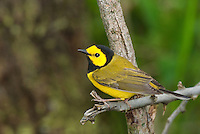 591920016 a wild male hooded warbler setophaga citrina - was wilsonia citrina - perches on a dead tree limb on south padre island cameron county texas united states
