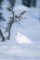 Willow Ptarmigan in white winter plumage sits on the snow, Arctic, Alaska