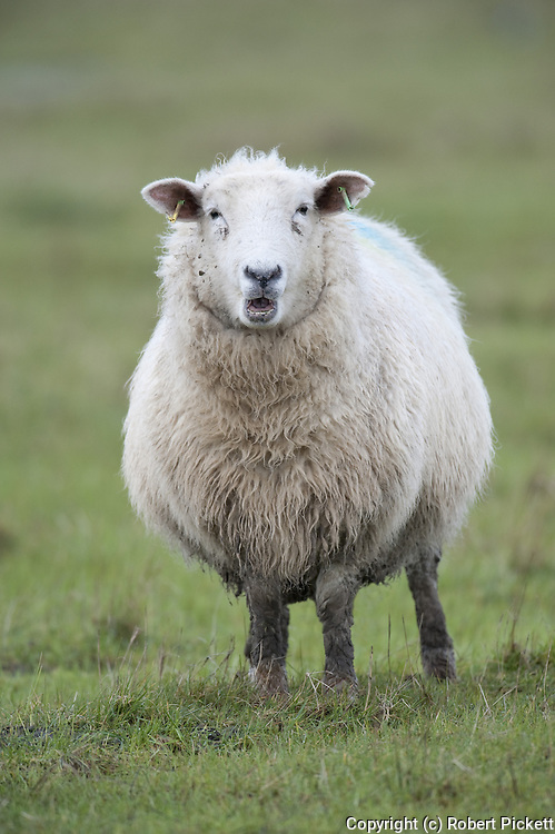 Sheep, Elmley Marshes, Kent UK, National Nature Reserve