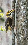 Great Indian Hornbill, Khao Yai National Park, Thailand