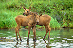 Moose calves are easy prey for wolves, Denali National Park, Alaska, USA
