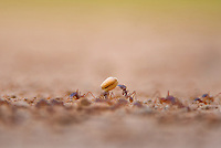 305280001 a wild texas leafcutting ant atta texana carries a seed back to the nest in the lower rio grande valley of south texas united states
