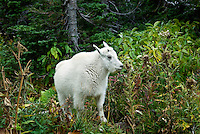 Rocky Mountain Goat, Glacier National Park