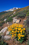 Arrowleaf Balsamroot (Balsamorhize sagittata) in bloom under snowy Sierra Nevada Mountains near June Lake, Inyo National Forest, California