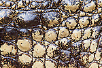 Nile crocodile, Crocodylus niloticus, skin close-up, Crocodile Centre, St Lucia, KwaZulu Natal, South Africa