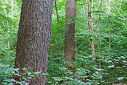 Hemlock - spruce - northern hardwood Forest during the summer months in the area of the Deer Brook drainage of Albany, New Hampshire USA. This area is part of the proposed Northeast Swift Timber Project.