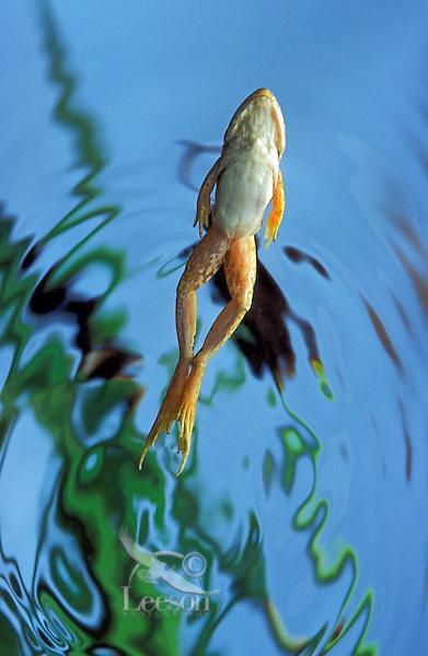 Green Frog. Female underwater..Nova Scotia. Canada..Rana clamitans melanota.
