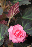 Begonia Nonstop Mocca Pink tuberous begonia in flower with chocolate colored leaves with green leaf veins