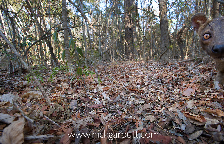 Adult male Fosa (Crytoprocta ferox) investigating camera set in leaf-litter. Dry deciduous forest. Kirindy Forest, western Madagascar.