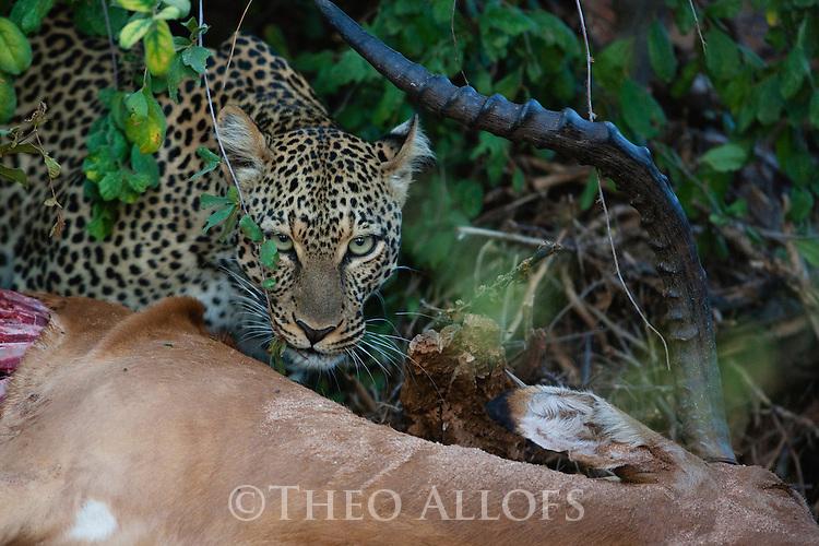 Kenya, Samburu, leopard on impala kill