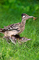 576010048 a wild pair of  greater roadrunners geococcyx califonianus in mating position with the male holding a grasshopper as a food offering on laguna seca ranch in hidalgo county texas united states