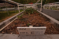 Cauliflower Growing in the Organic Garden, Turtle Island, Yasawa Islands, Fiji