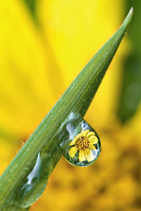 """SUNFLOWER REFRACTION"" -- A wild sunflower refracted in a morning dewdrop along the Blue Ridge Parkway."