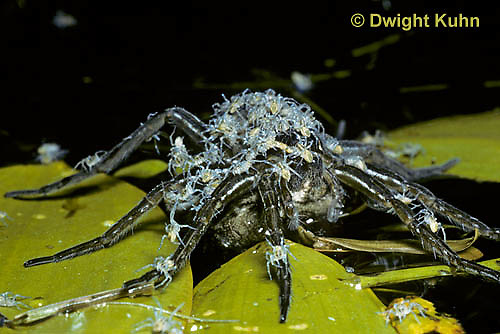 NS02-001a  Six Spotted Fishing Spider with young on its back - Dolomedes triton