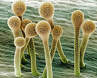 Trichomes on a Snapdragon flower petal. SEM X390.  **On Page Credit Required**