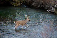 Whitetail buck crossing stream during autumn rut in Montana