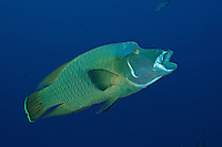 RH0955. Napoleon Wrasse (Cheilinus undulatus), opening mouth. This large fish is also called the humphead wrasse, and has disappeared from many coral reefs because it is intensively harvested for a barbaric fishery in which the large rubbery lips are sold in expensive restaurants as a delicacy and dish of high status. Palau, Pacific Ocean.<br /> Photo Copyright &copy; Brandon Cole. All rights reserved worldwide.  www.brandoncole.com