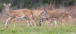 USA, Texas, Aransas Bay, white-tailed deer