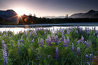 Spring landscape of lupine and Chugach Mountains at sunset along Placer River in Southcentral, Alaska<br /> <br /> Photo by Jeff Schultz (C) 2016  ALL RIGHTS RESERVED