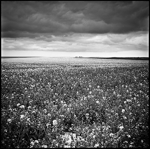 Rapeseed, Happisburgh II, Norfolk 2013 by Paul Cooklin