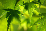 close-up of green Japanese maple leaves