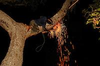 Clinging to his branch, Boni smokes a bee nest.///Agrippé à sa branche, Boni enfume un nid d'abeille.