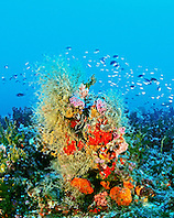 coral head encrusted with fire coral, hydroids, sponges, and oysters (at 130ft.), fire coral reef, Middlegrounds, 100 miles offshore of Tampa, Florida, USA, Gulf of Mexico, Caribbean Sea, Atlantic Ocean